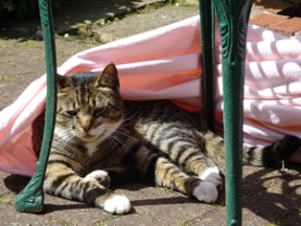 Domestic cat lying under chair in sunshine