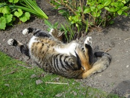 Domestic cat lying on its back in garden