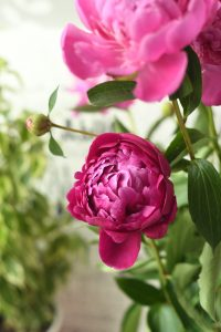 a photograph of vividly pink peonies